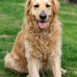 Portrait of beautiful golden retriever — Stock Photo