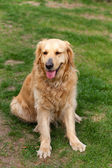 Portret van prachtige golden retriever — Stockfoto