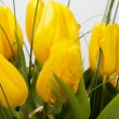 Yellow tulips isolated on white background — Foto Stock
