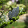 Cones of Korean Fir - Abies koreana — Stock Photo