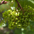 Branch of green unripe grapes in summer — Stock Photo