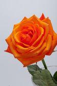 Orange single rose isolated on white background — Stock Photo