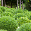 Boxwood  - Green garden balls in France, — Stock Photo