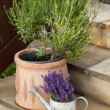 Watering Can and Lavende — Stockfoto