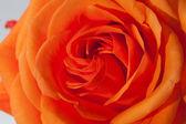 Close up image of single orange rose — Stock Photo
