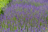 Giardini con fioritura lavanda presso i castelli della valle della Loire — Foto Stock