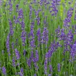 Постер, плакат: Gardens with the flourishing lavender at castles in the valley of Loire