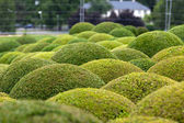 Boxwood - Green garden balls in France, — Stok fotoğraf