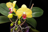 Yellow orchid isolated on black — Stock Photo