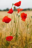 Red poppies on the corn-field — Stock fotografie