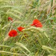 Red poppies on the corn-field — Stock Photo #31635291