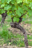 Old vines in the flowering season. Tuscany, Italy — Stock Photo