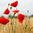 Red poppies on the corn-field — Stock Photo #32018439