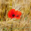 Red poppies on the corn-field — Stock Photo #33751237