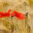 Red poppies on the corn-field — Stock Photo #34706327