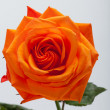 Orange single rose isolated on white background — Stock Photo