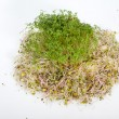 Fresh alfalfa sprouts and cress on white background  — Stok fotoğraf