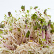 Stock Photo: Healthy diet. Fresh sprouts isolated on white background