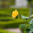 Yellow Rose in french garden — Stock Photo #35647977