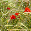 Red poppies on the corn-field — Stock Photo