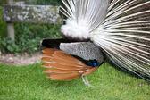 Paon montrant ses belles plumes, vus de derrière — Photo