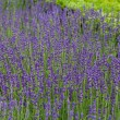 Stock Photo: Gardens with flourishing lavender at castles in valley of Loire