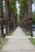 The neverending avenue with palms in Manacor. Majorca, Spain — Zdjęcie stockowe