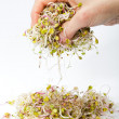 Stock Photo: Fresh alfalfsprouts isolated on white background