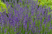 Gardens with the flourishing lavender at castles in the valley of Loire — Стоковое фото