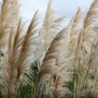 Cortaderia selloana or Pampas grass blowing in the wind — Stock Photo #38811453