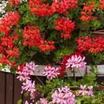 Red garden geranium flowers — Stock Photo