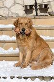 Beautiful golden retriever — Stock Photo