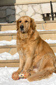 Beautiful golden retriever — Stockfoto