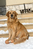Beautiful golden retriever — Stock fotografie