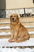 Beautiful golden retriever — Stok fotoğraf