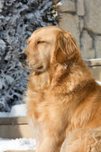 Beautiful golden retriever — Stock Photo