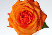 Close up image of single orange rose — Zdjęcie stockowe