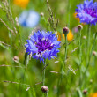 Cornflower flowers on meadow — Stock Photo #40658121