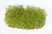 Cress seedlings isolated on white background — Stock Photo