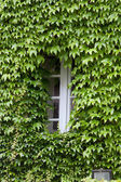 Building covered with grapes vine. burgundy, France — Stock Photo