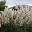 Cortaderia selloana or Pampas grass blowing in the wind — Stock Photo #41372937