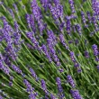 Stock Photo: Garden with flourishing lavender in France