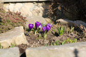 Purple crocuses in spring day — Stock Photo