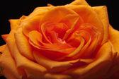 1 つのオレンジのバラのイメージを閉じます — ストック写真