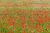 The picturesque landscape with red poppies among the meadow — Stock Photo