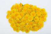 Beautiful yellow flowers of Dandelion — Stock Photo