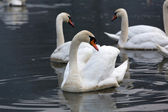 Beautiful white swans floating on the water — Stock Photo