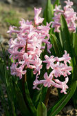 Pink hyacinths in the garden — Stock Photo