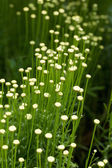 The Santolina is a medicinal plant that smells like chamomile. — Stock Photo