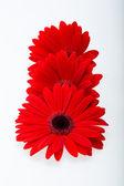 Red gerbera daisy flower — Stock Photo